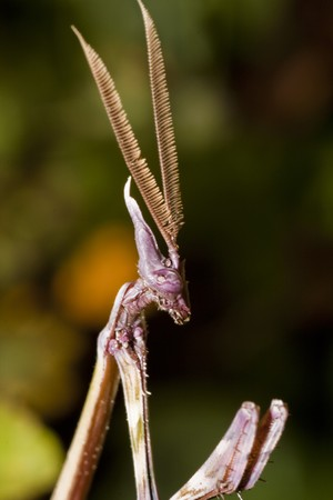 Close up view of a male empusa pennata insect. Stock Photo - 7919994