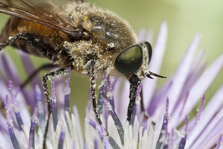 Close up view of a Bombylius major fly feeding from a flower. photo