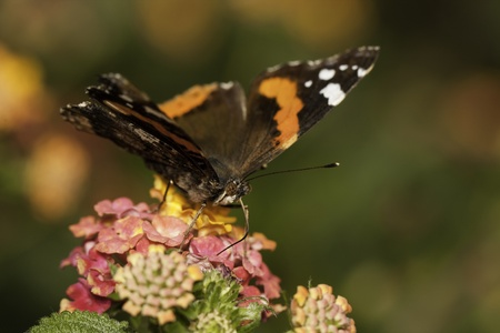 Close up view of the Red Admiral butterfly on the flowers. photo