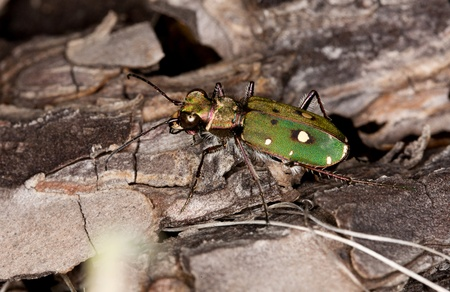 tiger beetle: Close up view of a green tiger beetle on the forest ground.