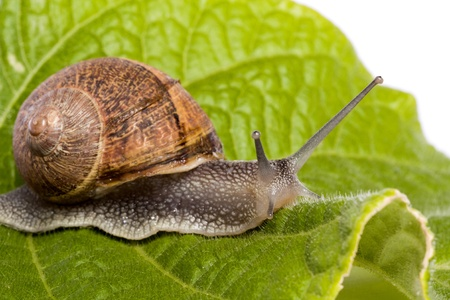 gastropod: Close up view of a snail walking around on a white background. Stock Photo