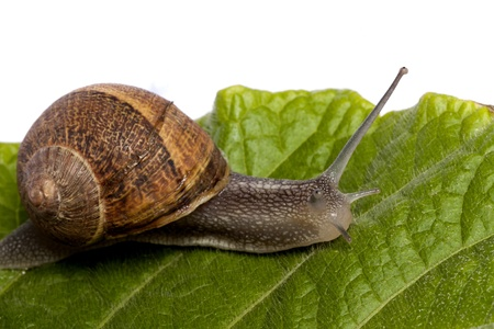 Close up view of a snail walking around on a white background. Foto de archivo