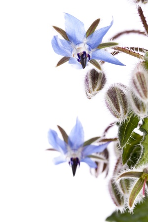 Close up view of the Borage Flower (Borago Officinalis) isolated on a white background. Stock Photo
