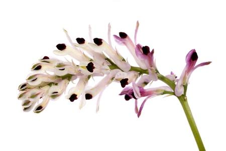 흰 배경에 고립 된 Fumaria 야생화의 뷰를 닫습니다.
