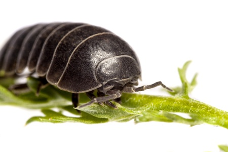 Close up view of a common woodlice bug isolated on a white background. Stock Photo - 9942752