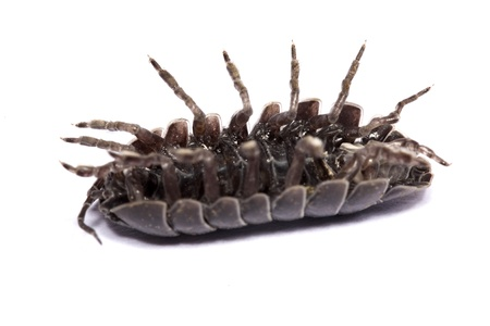 Close up view of a common woodlice bug isolated on a white background. Stock Photo - 9942780