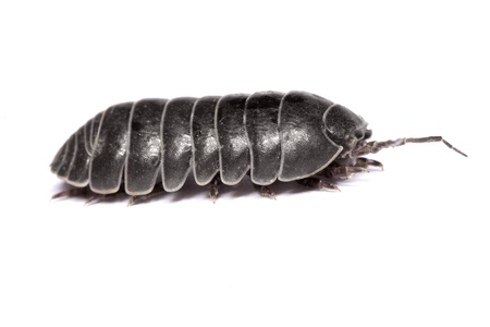 Close up view of a common woodlice bug isolated on a white background.