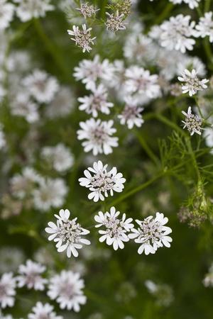 hemlock: Cerrar vista de algunas hermosas flores silvestres de cicuta Collalba (Oenanthe crocata).