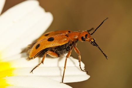 rostratus: Close up view of a bright orange beetle bug (Leptopalpus rostratus) on a flower.