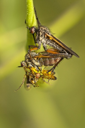 Close up view of a Robber Flies hanging from a plant. photo