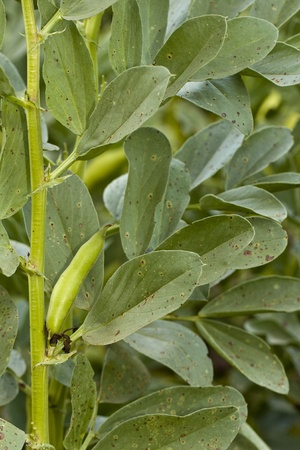 planta de frijol: Close up view of the fava bean plant on a field.