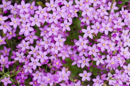 아름 다운 야생의 꽃 Centaurium erythraea의 뷰를 닫습니다. 스톡 콘텐츠