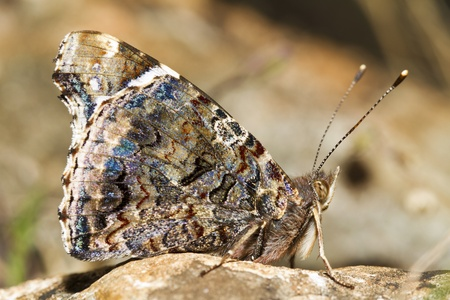 vanessa: Close up view of the beautiful Painted Lady (Vanessa cardui) butterfly insect. Stock Photo