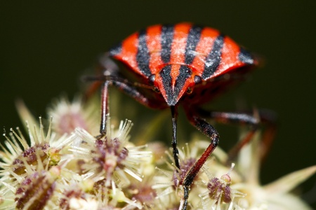 graphosoma: Close view detail of a Graphosoma lineatum bug on a flower. Stock Photo