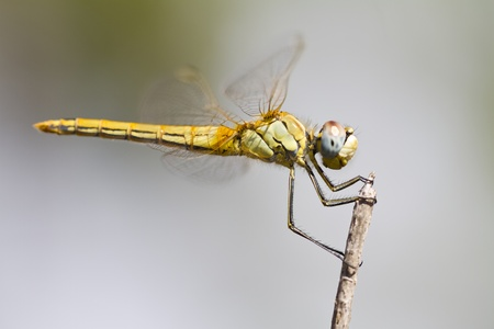 Close view detail of a female red-veined darter dragonfly. photo