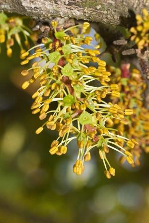 carob: Close view of the blossom flowers of the carob tree. Stock Photo