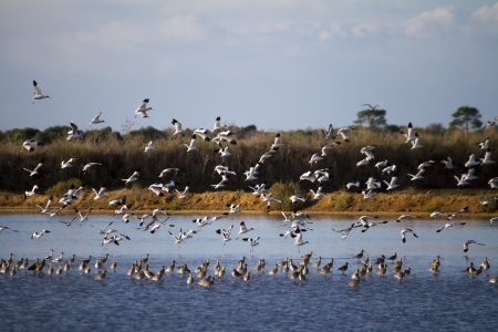 ria: View of a flock of birds flying on the marshlands.