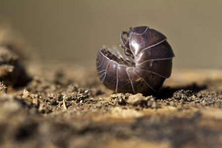 Close view of a upside down pill bug on the nature.