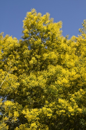View of beautiful yellow acacia trees on the nature. Stock Photo - 12978856