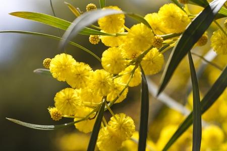 성격에 아름 다운 노란 아카시아 나무의 전망.