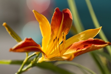 frans: Close up view of a beautiful garden Daylily Frans Hals (Hemerocallis hybrida) flower. Stock Photo