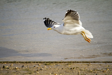 View of a beautiful seagull bird flying low in the beach shore. photo
