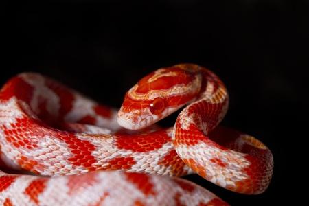 orange snake: Close view of a beautiful red corn snake.