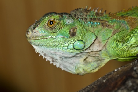 species of creeper: Close view of the head of an iguana lizard.
