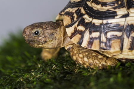 terrestrial mammal: Close up view of a leopard tortoise