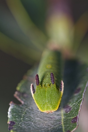 Close view of Arbutus Unedo caterpillar, Foxy Emperor (Charaxes jasius). Stock Photo - 12979122