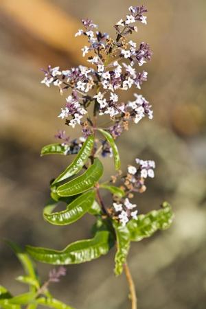 Close view of the Aloysia citrodora plant on the nature.