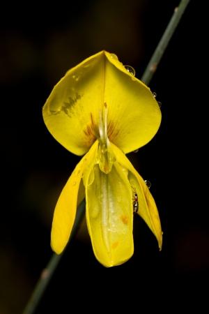 weavers: Close up view detail of a Weavers Broom (Spartium junceum) yellow flower.