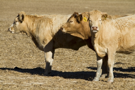 View of some brown cows on a Alentejo landscape. photo