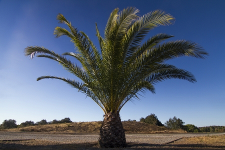 dactylifera: View of a isolated Date Palm tree (Phoenix dactylifera) on a park.