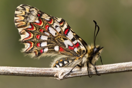 festoon: Close up view of a Spanish festoon butterfly (Zerynthia rumina) butterfly.