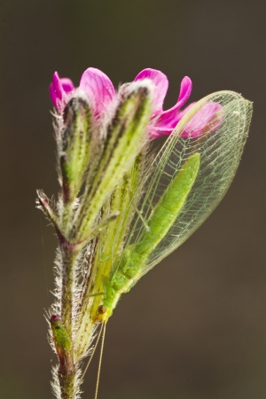 chrysopidae: Close up view of a Green Lacewing (Chrysoperla carnea) insect holding to a flower.