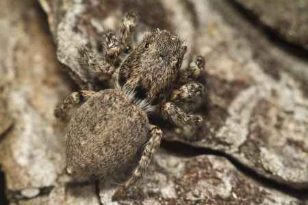 arachnidae: Close up view of the curious jumping spider. Stock Photo