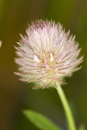 Close up view of the beautiful clover flower (trifolium sp.). Stock Photo - 15274494