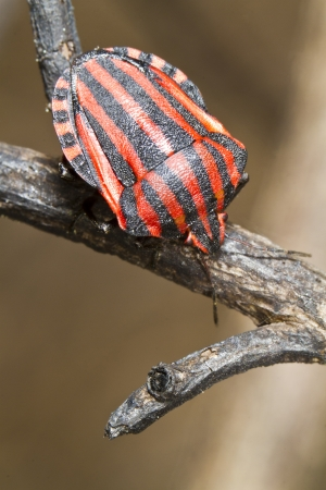 Close view detail of a Graphosoma lineatum bug on a flower.  photo