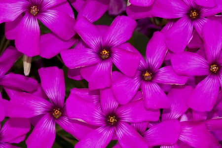 Close up view of the beautiful Pink-sorrel (Oxalis articulata) flower. Stock Photo - 15274076