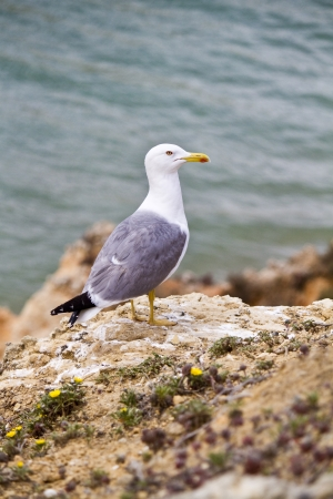 region of algarve: Close view of the seagull bird on the wilderness of the Algarve region.