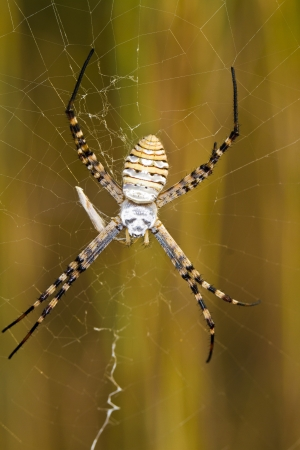 argiope: Close up view of the beautiful Orb-weaving Spider (Argiope bruennichi) on its web.