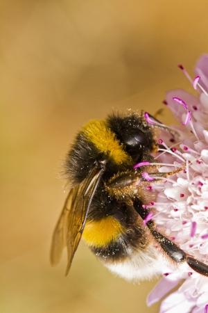 bombus: Close up view of the beautiful Buff-tailed Bumblebee (Bombus terrestris subsp. lusitanicus) insect.