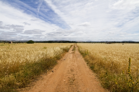View of a long dirt road in the middle of cultivated cereal.  photo
