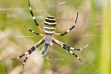 argiope: Close up view of a Orb-weaving Spider (Argiope bruennichi). Stock Photo