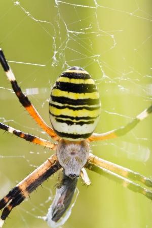 Close up view of a Orb-weaving Spider (Argiope bruennichi). Stock Photo - 15302854
