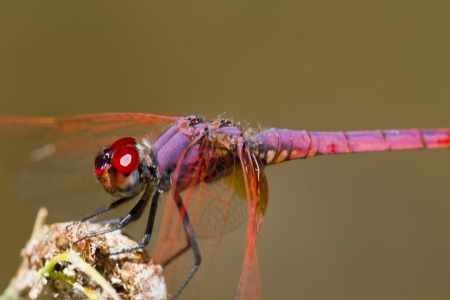 dropwing: Close up view of a Violet Dropwing (Trithemis annulata) dragonfly insect. Stock Photo