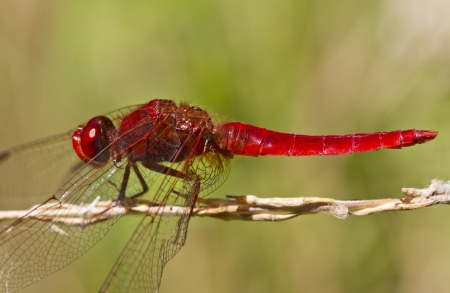 crocothemis: Close up view of a Scarlet Darter (Crocothemis erythraea) dragonfly insect. Stock Photo