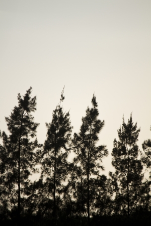 aligned: View of some aligned pine trees silhouettes in the forest.