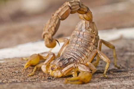 Close view detail of a buthus scorpion (scorpio occitanus).